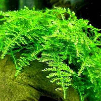 Мох Кристмас / Christmas moss (Vesicularia montagnei sp.), порция 3x3см.