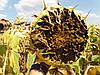 Насіння соняшника для Півдня України ЄС САКСОН під Гранстар. Жаростійкий гібрид ЄС САКСОН високоврожайний 50,2 ц/га та масляничний 50-52%.