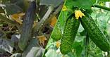 BioGrow – биоактиватор роста растений, фото 3