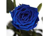 Долгосвежая роза Синий Сапфир в подарочной упаковке 228-1841216
