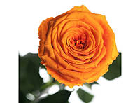 Долгосвежая роза Оранжевый Цитрин в подарочной упаковке 228-1841218