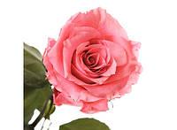 Долгосвежая роза Розовый Кварц в подарочной упаковке 228-1841219