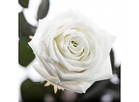 Долгосвежая роза Белый Бриллиант в подарочной упаковке 228-1841225