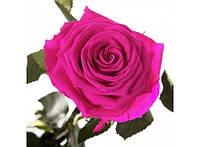 Долгосвежая роза Малиновый Родолит в подарочной упаковке 228-1841226