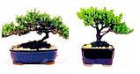 10 семян Кипариса бонсай  / семена Кипариса бонсай 10  // Насіння Кипарису бонсай, фото 2