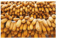 Семена кукурузы - Сиско