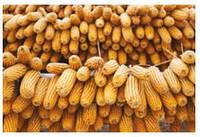 Семена кукурузы - Циско