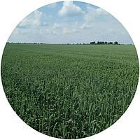 Насіння ярої пшениці Сімкода Миронівська (БН, еліта)