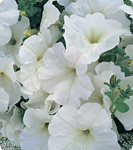 Петунія багатоквіткова Амфора White