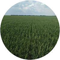 Яра пшениця Елегія Миронівська