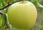 Саженцы яблони Кальвиль снежный (Украина)