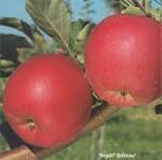 Саженцы яблони Руж Розе (Франция)