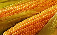 Семена гибрида кукурузы DN ORILSKY (ДН ОРИЛЬСКИЙ)  (ФАО 320) по почте, оплата после доставки !!!
