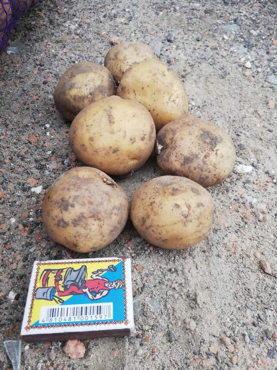 Рів'єра (насіннєва картопля) Житомир II репродукція Самовивіз зі складу Мелітополь, відправка по передоплаті