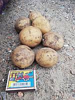 Ривьера (картофель семенной) Винница II репродукция