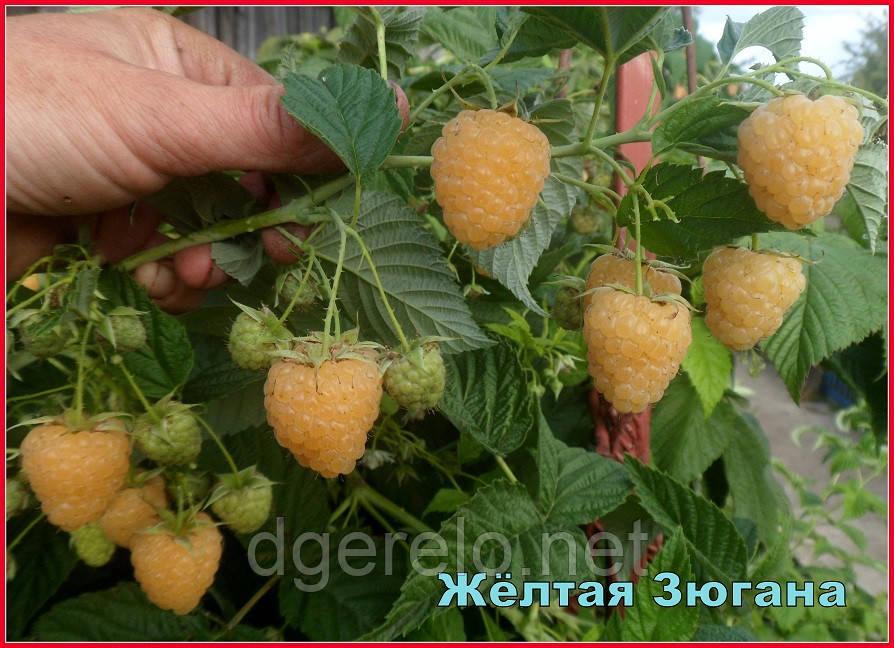 Зюгана голд  - саженцы малины (2 сорт)