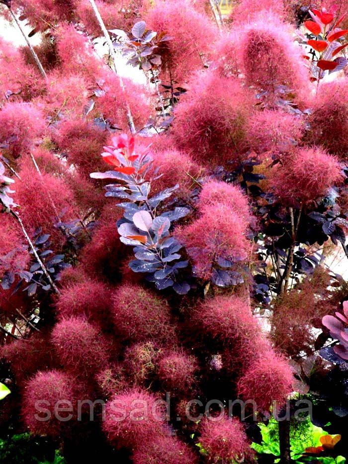 Скумпия кожевенная Рояль Пурпле \ cotinus coggygria Royal Purple ( саженцы 2года)