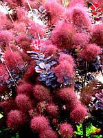 Скумпия кожевенная Рояль Пурпле \ cotinus coggygria Royal Purple ( саженцы 2.5 года) С 1.3л