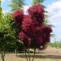 Скумпия кожевенная Рояль Пурпле \ cotinus coggygria Royal Purple ( саженцы 2года), фото 3