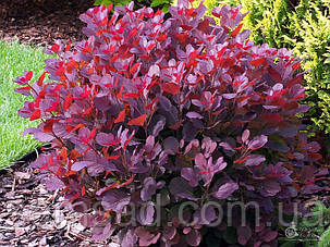 Скумпия кожевенная Рояль Пурпле \ cotinus coggygria Royal Purple ( саженцы 2года), фото 2