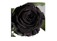 Долгосвежая роза - бутон Черный Бриллиант Код:228-18419128