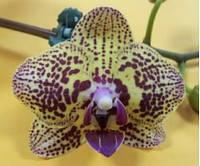 "Подростки орхидеи 1.7"". Сорт Dtps. Jian San Jie no 3, без цветов."