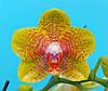 "Подростки орхидеи 1.7"". Сорт Phal. AJR-040 , без цветов."