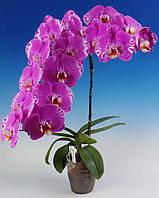 """Подростки орхидеи 1.7"""". Сорт Phal. Fuller""""s 3545, без цветов."""