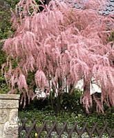 """Тамарикс бисернник  """" Пинк Каскад """" \ Tamarix parviflora 'Pink Cascade ( саженцы 1 год)"""