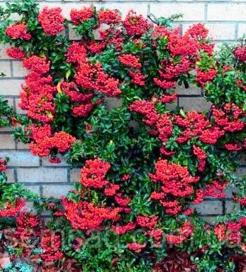 Пираканта Ред Колумн \ Pyracantha coccinea 'Red Column' ( саженцы 2 года)