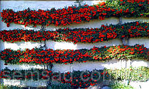 Пираканта Ред Колумн \ Pyracantha coccinea 'Red Column' ( саженцы 2 года), фото 3