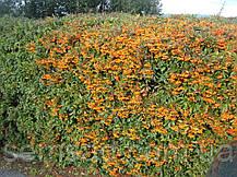 Пираканта Оранж Глоу \ Pyracantha 'Orange Glow' ( саженцы 2 года), фото 3