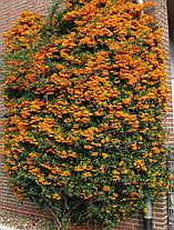 Пираканта Оранж Глоу \ Pyracantha 'Orange Glow' ( саженцы 2 года), фото 2