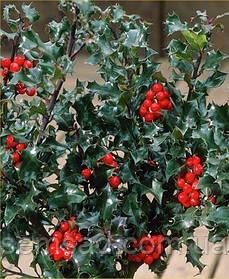 Падуб остролистный  вечнозеленый ( саженцы 3 года С1.5л)