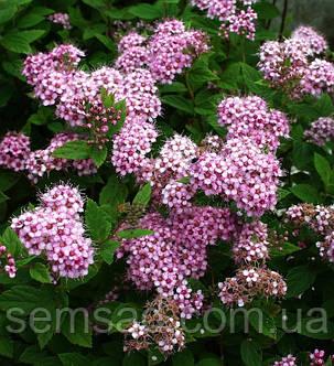"""Спирея японская """"Литтл Принцесс"""" \ spiraea japonica """"Little Princess"""" ( саженцы 2 года р9), фото 2"""