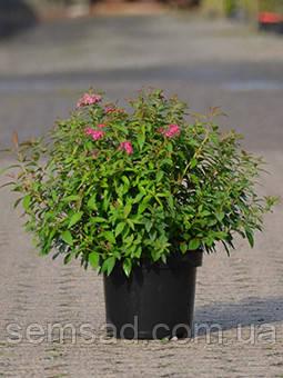 """Спирея японская """"Литтл Принцесс""""\ Spiraea japonica 'Little Princess' ( саженец 3 года ЗКС), фото 2"""