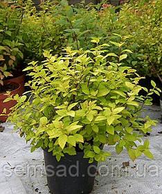 """Спирея японская """" Голдфлем"""" \ spiraea japonica goldflame  ( саженцы 3 года ЗКС)"""