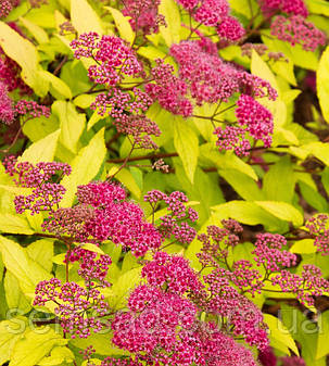 "Спирея японская "" Голдфлейм "" spiraea japonica goldflame ( саженец 2 года ЗКС), фото 2"