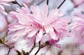 Магнолия звездная Розеа  \ Magnolia Stellata Rosea  ( саженцы 2 года), фото 2