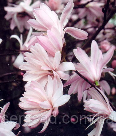 Магнолия звездная Розеа  \ Magnolia Stellata Rosea  ( саженцы 2 года)