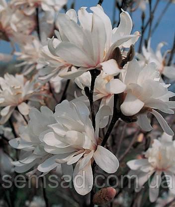 Магнолия лебнера Энкор  \  Magnolia loebneri ENCORE'  ( саженцы 2 года)
