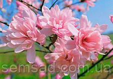 Магнолия лебнера Распберри Фан  \  Magnolia loebneri  Raspberry Fun ( саженцы 2 года), фото 2