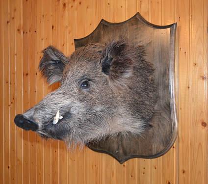 Чучело большой головы кабана на стену, фото 2