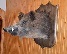 Чучело большой головы кабана на стену, фото 3
