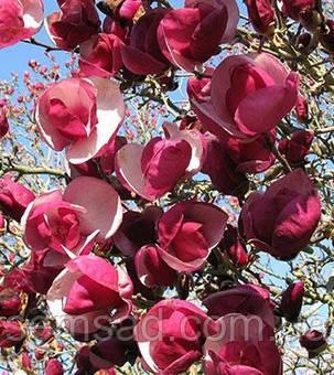 Магнолия суланжа Рустика Рубра \ Magnolia soulangiana 'Rustica Rubra' ( саженцы 2 года), фото 2