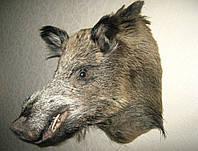 Чучело головы кабана, фото 1