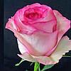 Роза двухцветная красивая Bela Vita (Белла Вита)