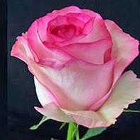 Роза Bela Vita (Белла Вита)