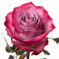 Роза Deep Purple (Дип Перпл) оптом, фото 1