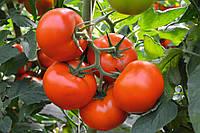 Тобольск F1 - семена томата, Bejo - 1 000 семян